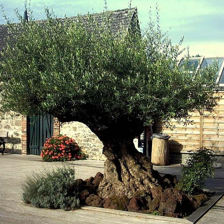 Jardins Bleus - L\'olivier