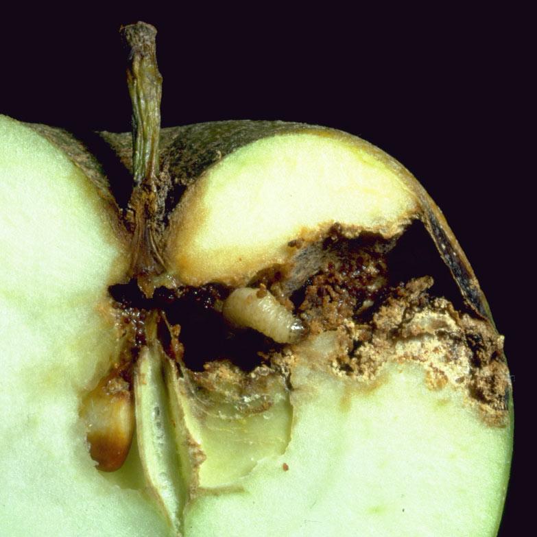 Les clystères dail aux parasites