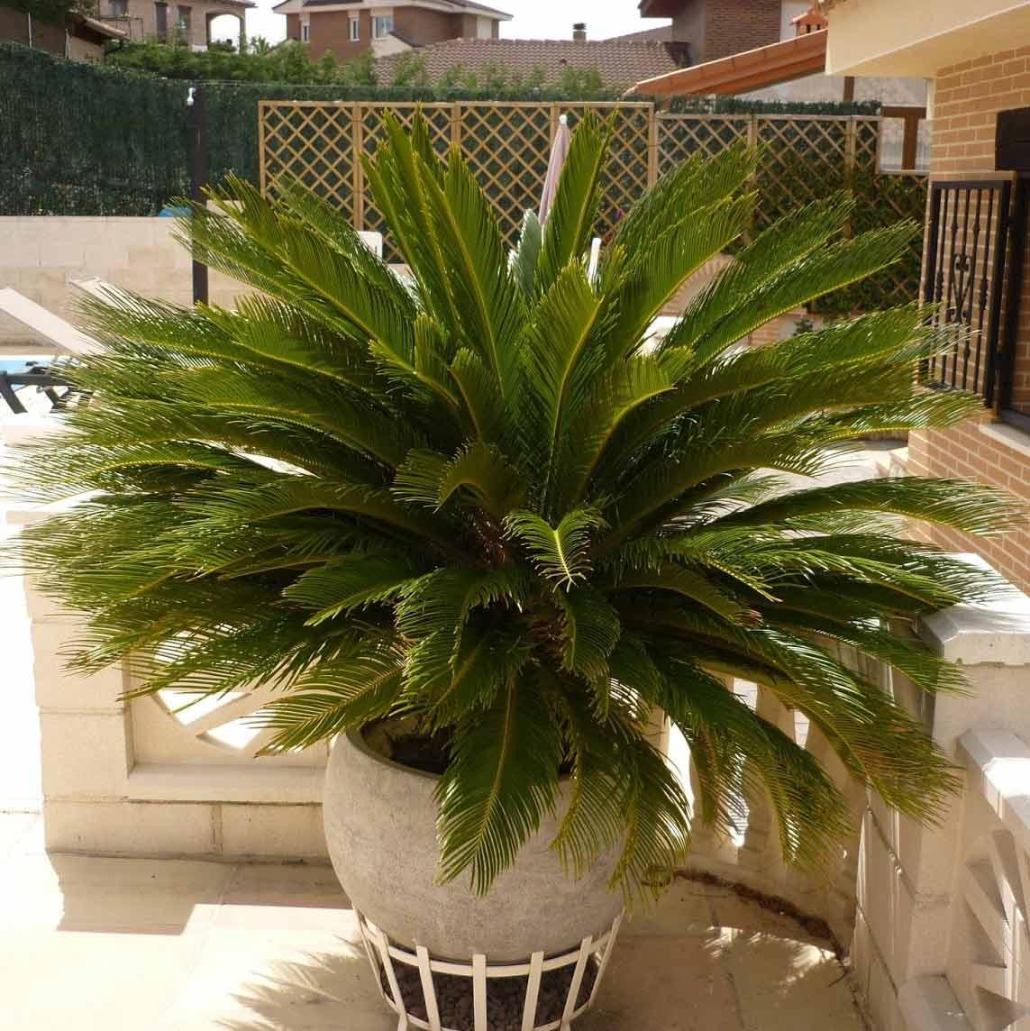 palmier japonais
