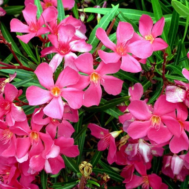 Jardins bleus laurier rose - Entretien du laurier rose ...