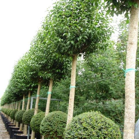 Jardins bleus les arbustes d 39 ornement d coratifs - Arbre du japon ...