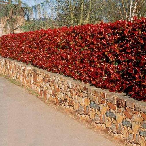 jardins bleus photinia red robin. Black Bedroom Furniture Sets. Home Design Ideas